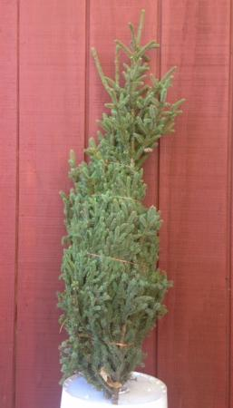 Spruce Tips - 10 in a bundle
