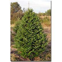 Balsam Fir Christmas Tree - 6-7 foot